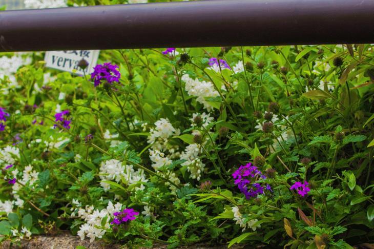 megurogawa_flower-36.jpg
